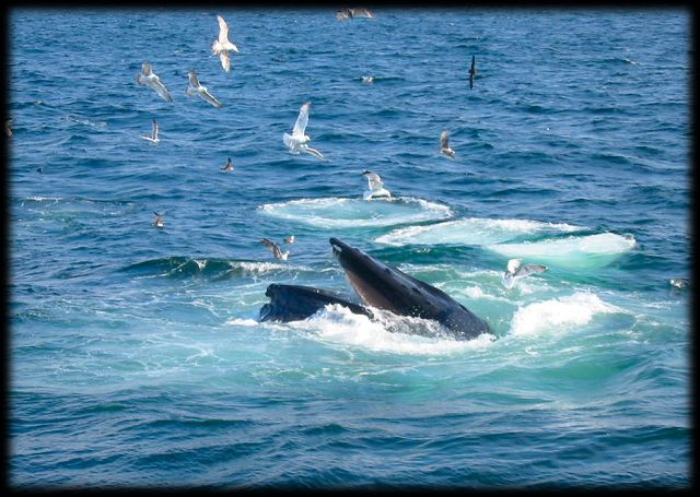 Great view of bubbles formed by the whales as they force the krill up to the surface.
