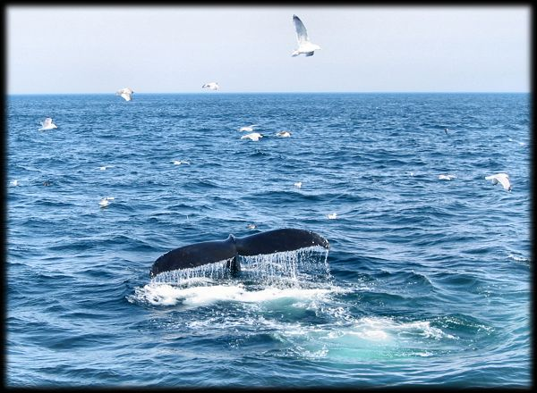 The fluke or tail of a Humpback Whale near Gloucester Massachusetts