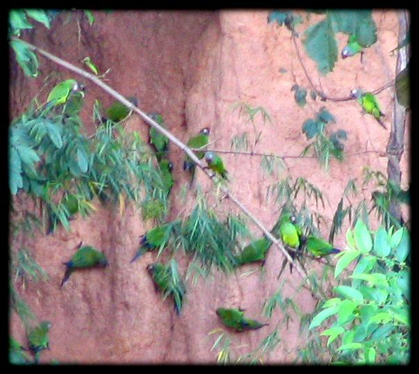 Blue Headed Parrots at clay lick