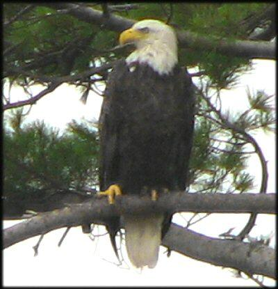 Squam Lake Bald Eagle