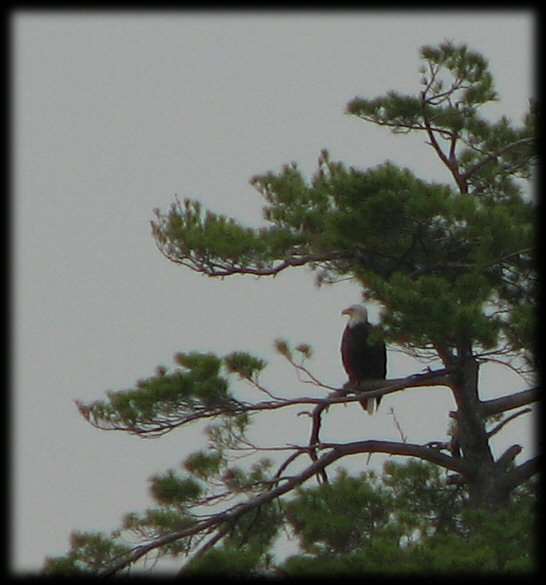 bald eagle squam lake