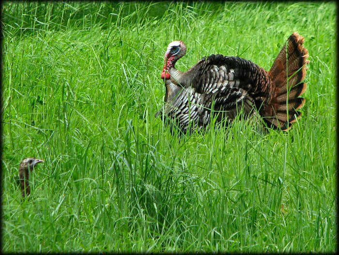Tom Turkey and Hen in the grass