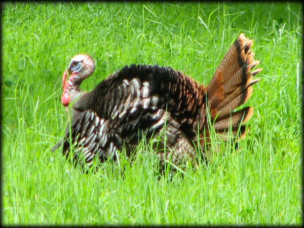 Tom Turkey in grass