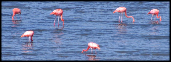 Flamingos in the north of the Bonaire Island