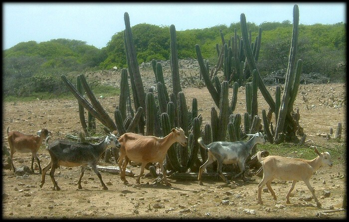 Goats run wild all over Bonaire, including the towns.
