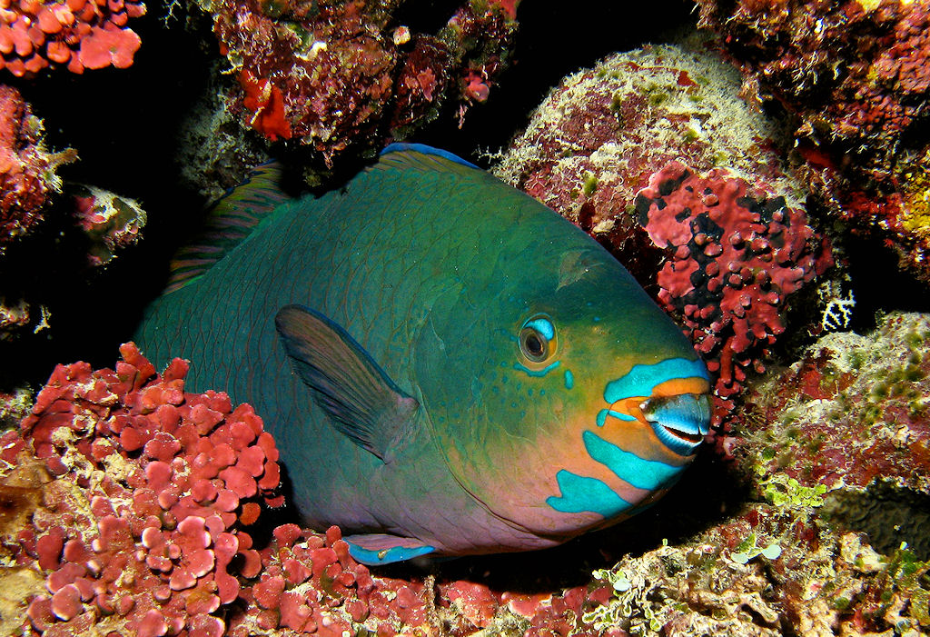 Diving in great barrier reef for Pictures of parrot fish