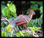 Blue faced Hoatzin (Amazon - Peru)