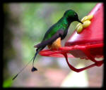 Booted Racket-Tail Hummingbird (Peru)