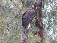 Black-cockatoo.jpg (227397 bytes)
