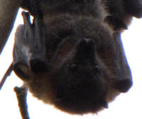 flying fox face.JPG (64369 bytes)