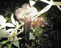 possum_at_night2.jpg (169167 bytes)