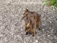 rock-wallaby2.jpg (279592 bytes)